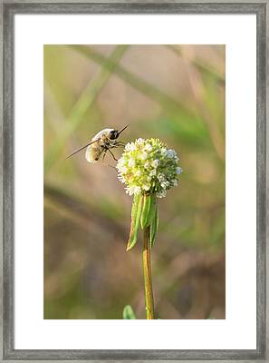 Bee Fly On A Wildflower Framed Print