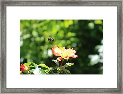 Bee Flying From Peach Petal Rose Framed Print