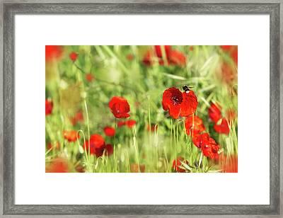 Bee Flying In Field Of Red Poppy Flowers Framed Print