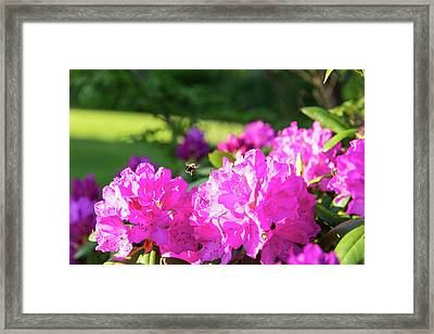 Bee Flying Over Catawba Rhododendron Framed Print