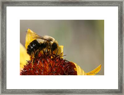 Bee Four Framed Print by Silvana Siudut