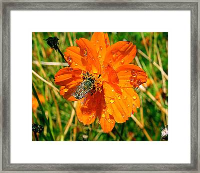 Bee Gathering Pollen On Desert Cosmos Framed Print by Merton Allen