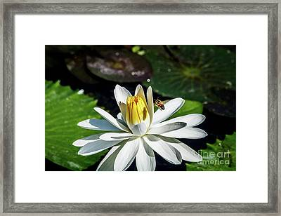 Bee In A Flower Framed Print