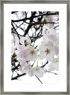 Bee In Blossoms Framed Print