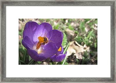 Bee In Purple Flower Framed Print by Luke Cain