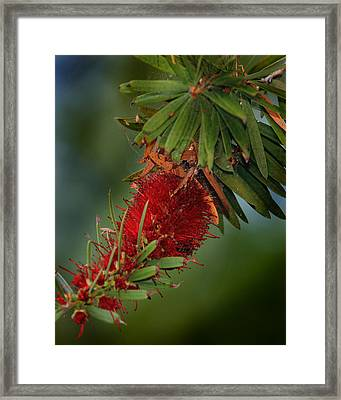 Framed Print featuring the photograph Bee In Red Flower by Joseph G Holland