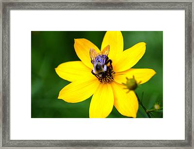 Bee In The Flower  Framed Print by Paul SEQUENCE Ferguson             sequence dot net