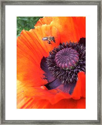 Bee Is Visiting A Poppy Framed Print