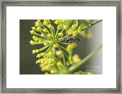 Bee Framed Print by Jivko Nakev