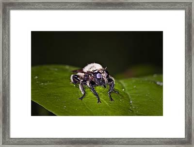 Bee Killer Fly Framed Print by Michael Whitaker