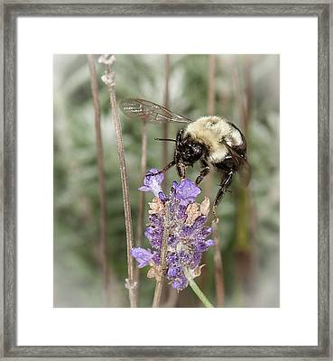 Bee Lands On Lavender Framed Print