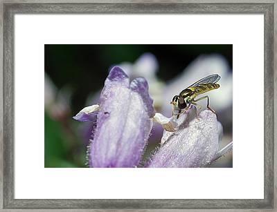 Bee Mimic On Iris Framed Print