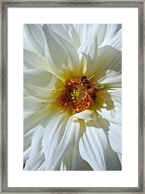 Bee Nice Dahlia  Framed Print