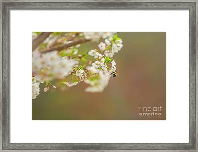 Bee On A Cherry Blossom Framed Print
