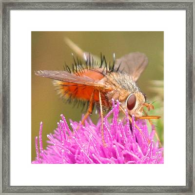 Bee On A Thistle Framed Print by Doug Johnson