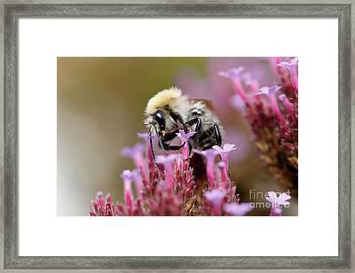 Bee On A Verbena Bonariensis Framed Print by Nick Biemans