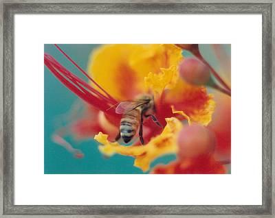 Bee On Bird Of Paradise 100 Framed Print by Diane Backs-Mancuso