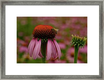Bee On Echinacea Framed Print by Jean Noren