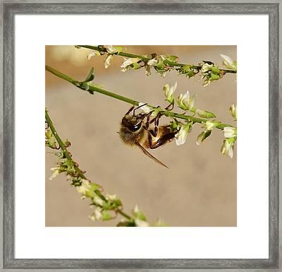 Bee On Flower Branch 1 Framed Print