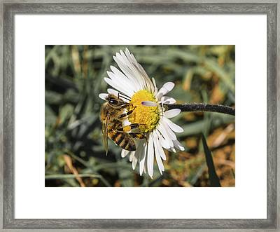 Bee On Flower Daisy Framed Print