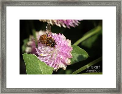 Bee On Gomphrena Framed Print by Jeannie Burleson