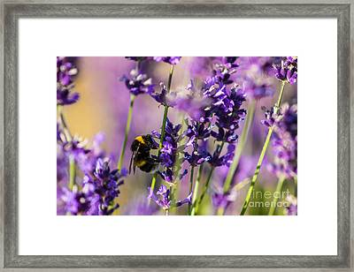 Bee On Lavender Framed Print