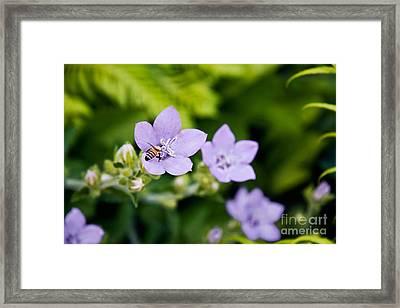 Bee On Lavender Flower Framed Print