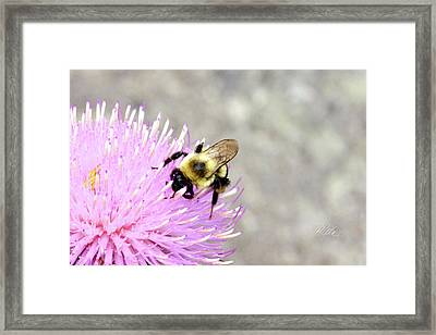 Bee On Pink Bull Thistle Framed Print