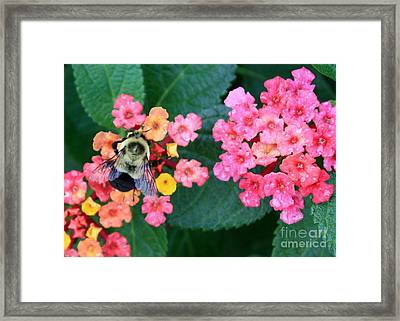 Bee On Rainy Flowers Framed Print by Carol Groenen