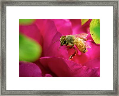 Bee On Rugosa Framed Print by Jean Noren