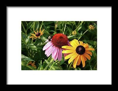Cone Flower Framed Prints