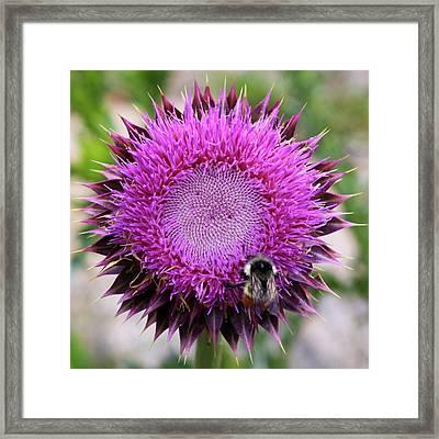 Bee On Thistle Framed Print