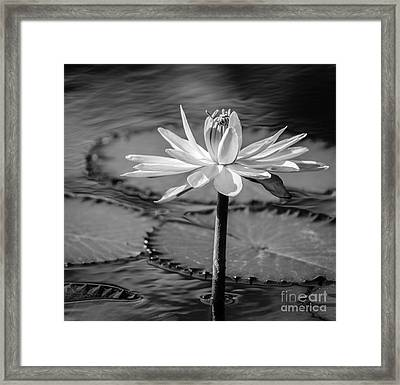 Bee On Waterlily, Black And White Framed Print