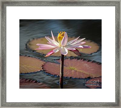 Bee On Waterlily Framed Print by Liesl Walsh