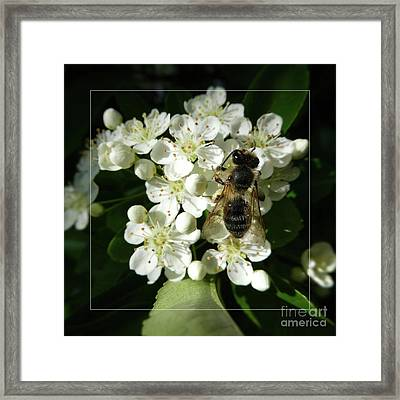 Bee On White Flowers 2 Framed Print by Jean Bernard Roussilhe