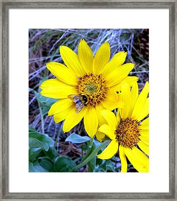 Bee On Wild Sunflowers Framed Print by Will Borden