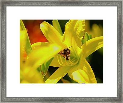 Bee On Yellow Lilly Framed Print