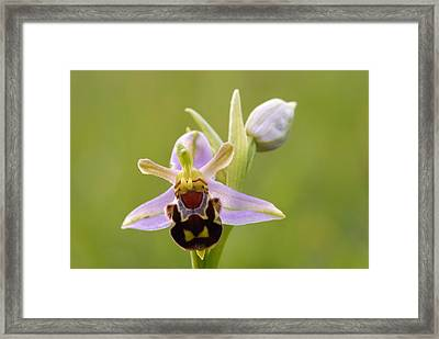 Bee Orchid Framed Print by Liz Pinchen