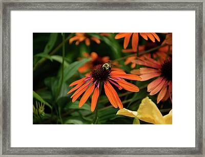 Bee Pollinating On A Cone Flower Framed Print