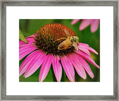 Bee Pollinating Echinacea Framed Print by Jean Noren