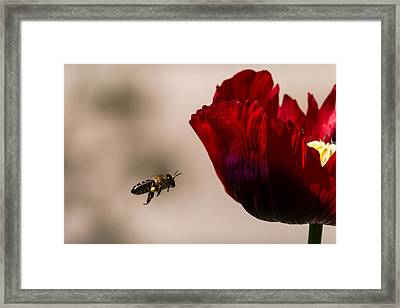 Bee Right Profile Flying To Red Flower Framed Print