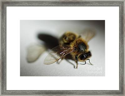 Bee Sitting On A White Sheet Framed Print by Sami Sarkis