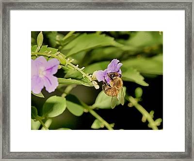 Bee Taking Pollen Framed Print