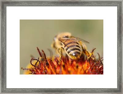 Bee Three Framed Print by Silvana Siudut