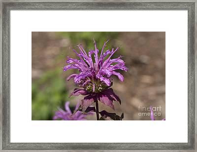 Beebalm Peters Purple Framed Print by Louise Heusinkveld