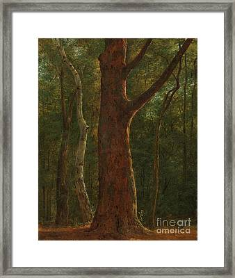 Beech Tree Framed Print