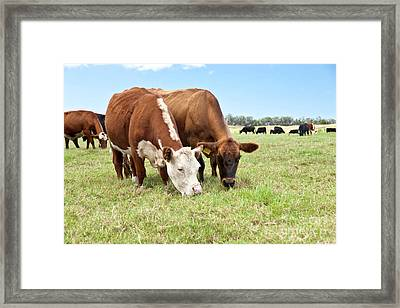 Beef Cattle Grazing In Pasture Framed Print