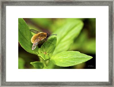 Beefly Framed Print by Christopher Holmes