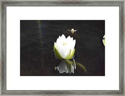 Beelanding Water Lily  Framed Print
