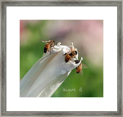 Bees On Angel Trumpet Framed Print
